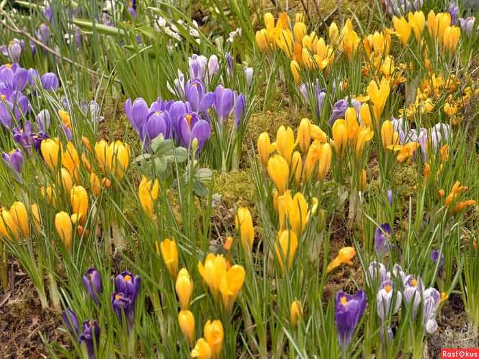 Берегите первоцветы